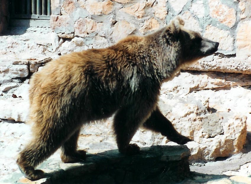 05.02.04.D. THE SYRIAN BROWN BEAR