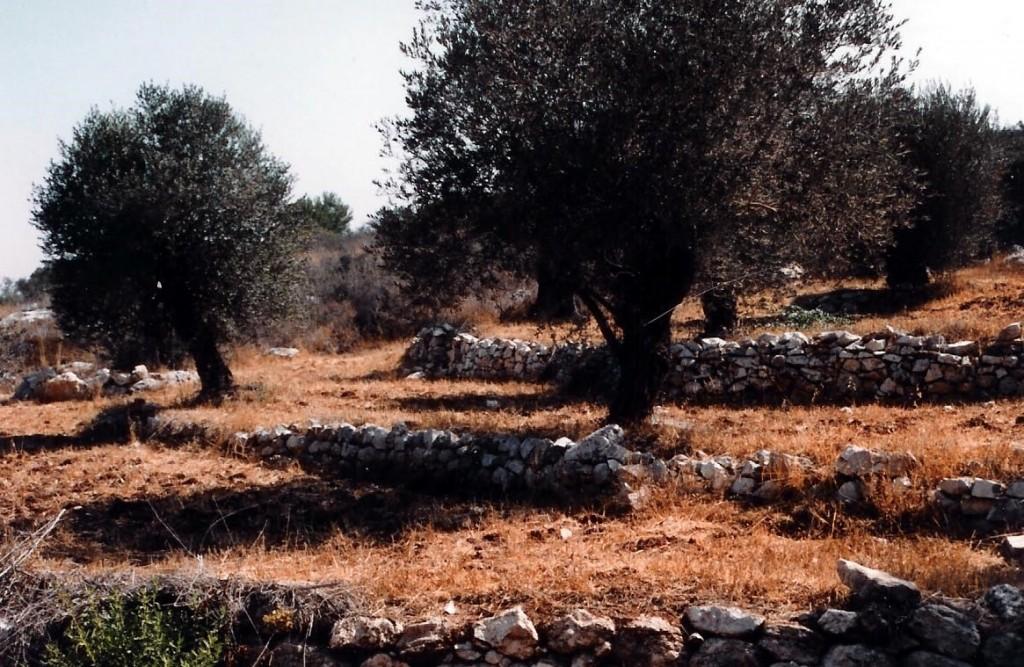 09.03.14.B. OLIVE TREES ON TERRACED HILLSIDE