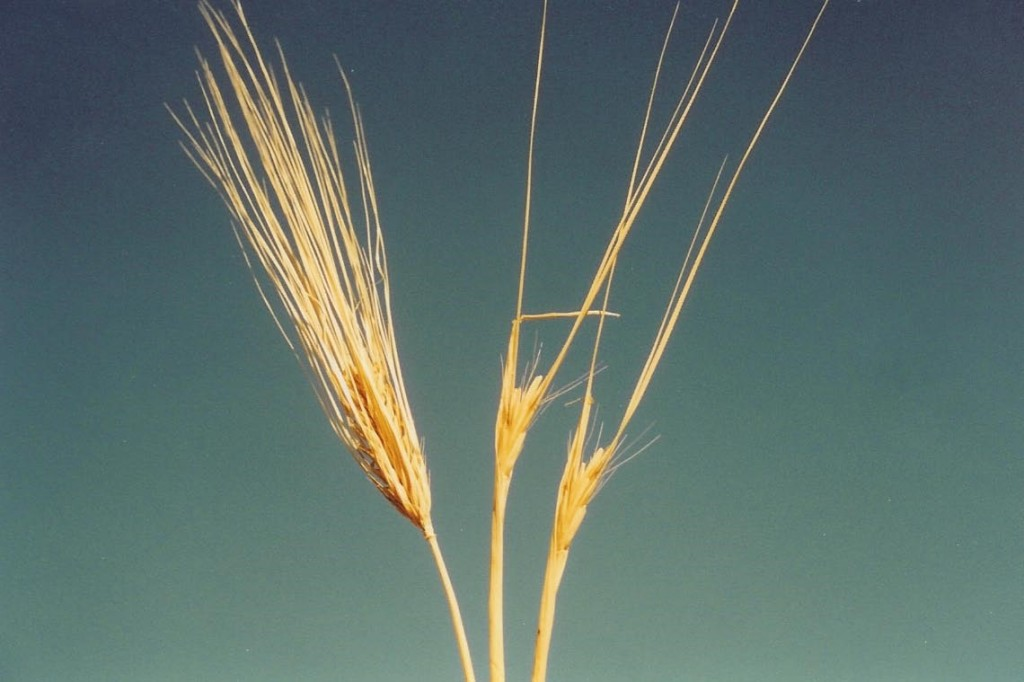 09.03.15.A. WHEAT AND TARES